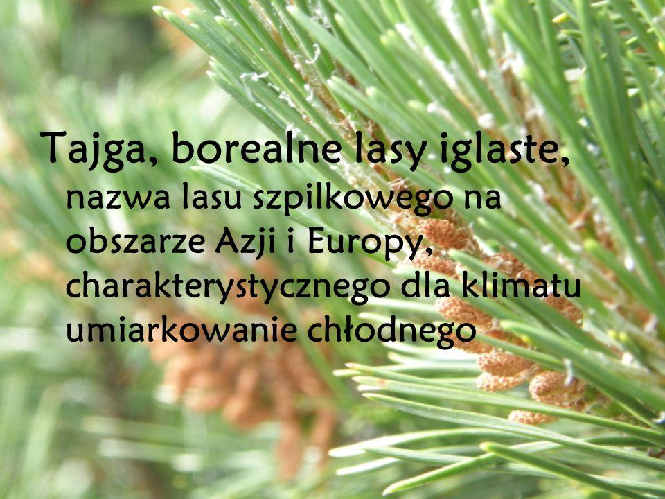 Tajga, borealne lasy iglaste, nazwa lasu szpilkowego na obszarze Azji i Europy, charakterystycznego dla klimatu umiarkowanie chłodnego
