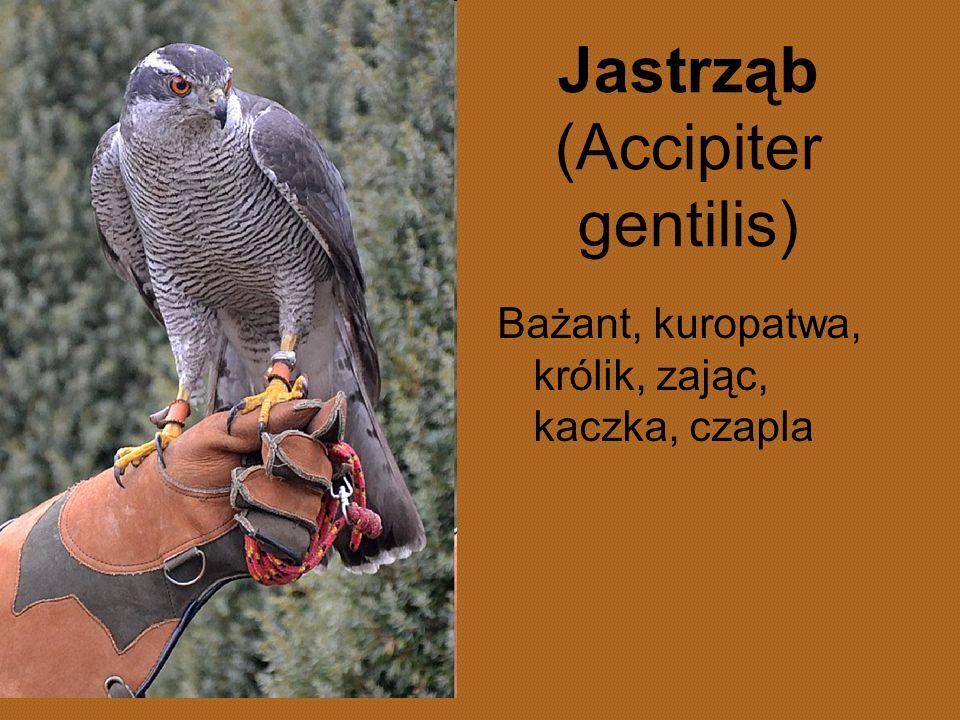 Jastrząb (Accipiter gentilis)