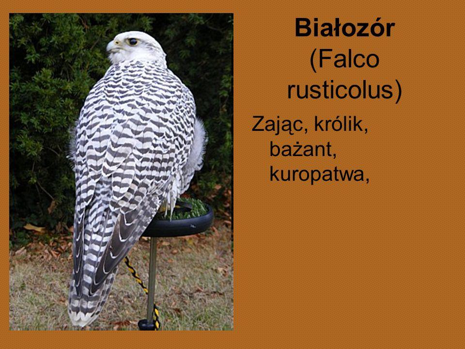 Białozór (Falco rusticolus)