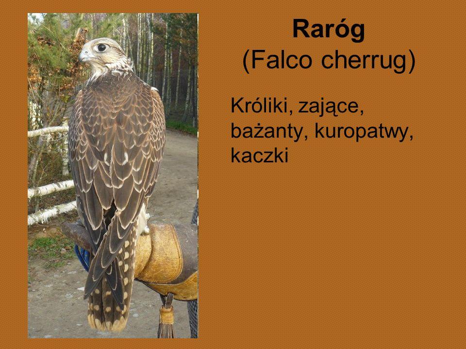Raróg (Falco cherrug) Króliki, zające, bażanty, kuropatwy, kaczki