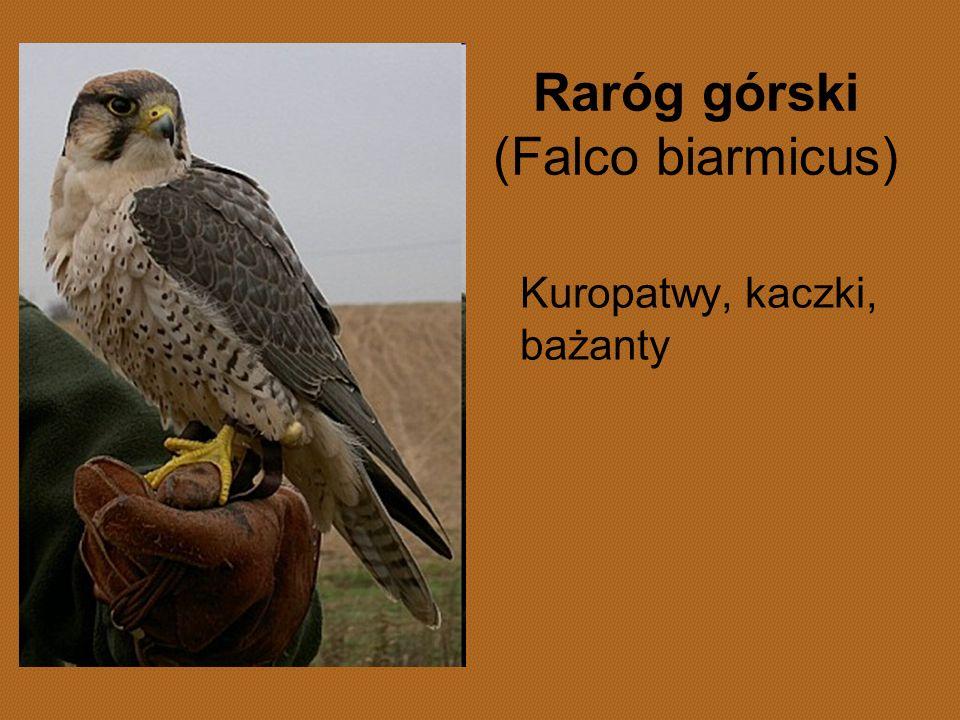 Raróg górski (Falco biarmicus)