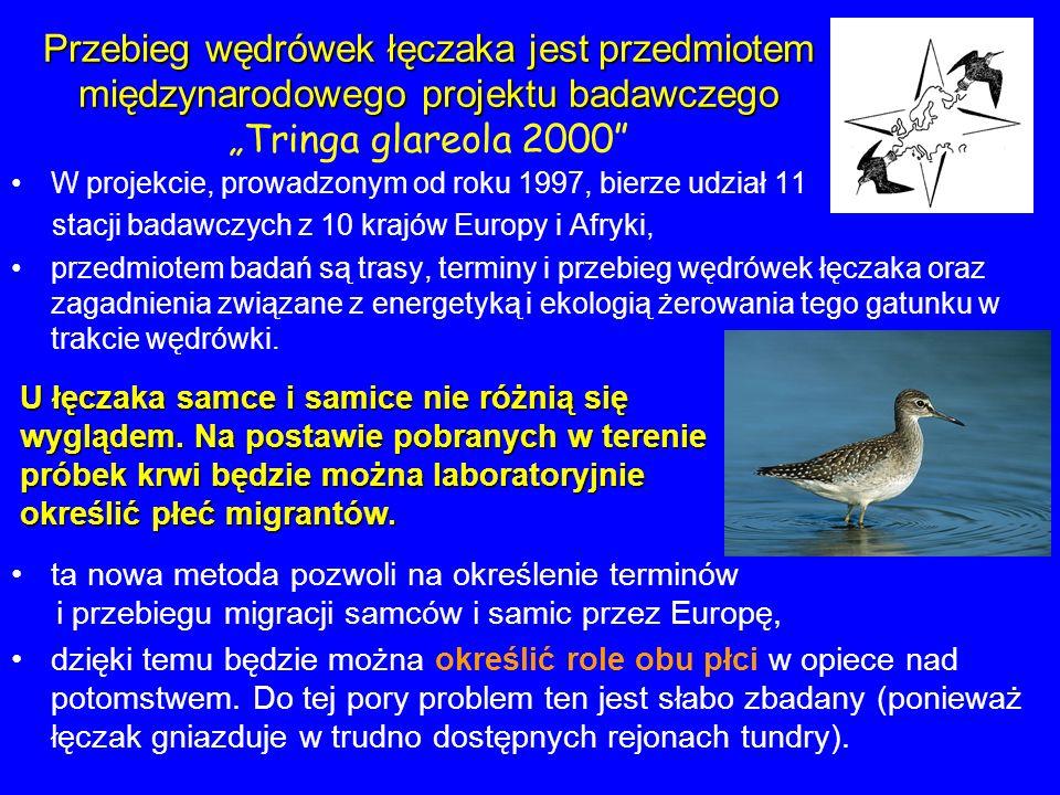 """Przebieg wędrówek łęczaka jest przedmiotem międzynarodowego projektu badawczego """"Tringa glareola 2000"""