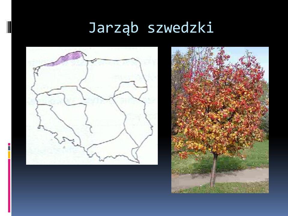 Jarząb szwedzki a
