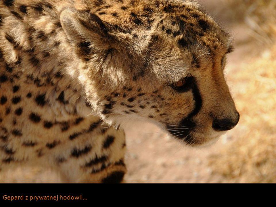 Gepard z prywatnej hodowli…