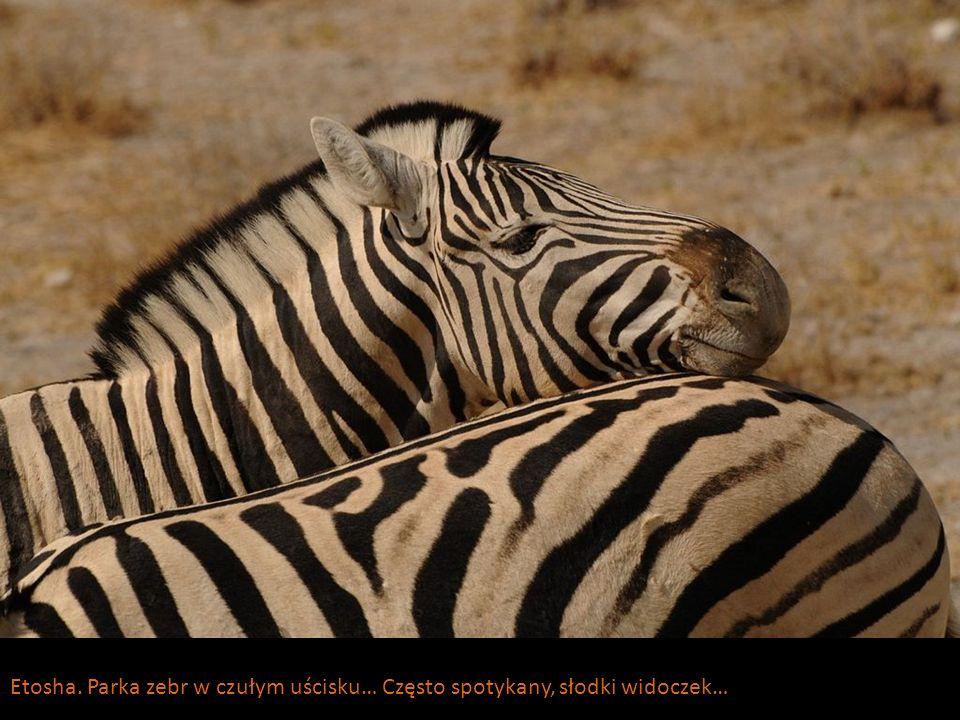 Etosha. Parka zebr w czułym uścisku… Często spotykany, słodki widoczek…