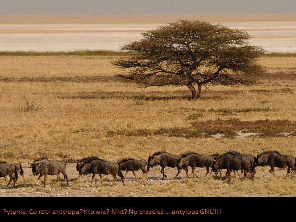 Pytanie. Co robi antylopa Kto wie Nikt No przecież … antylopa GNU!!!