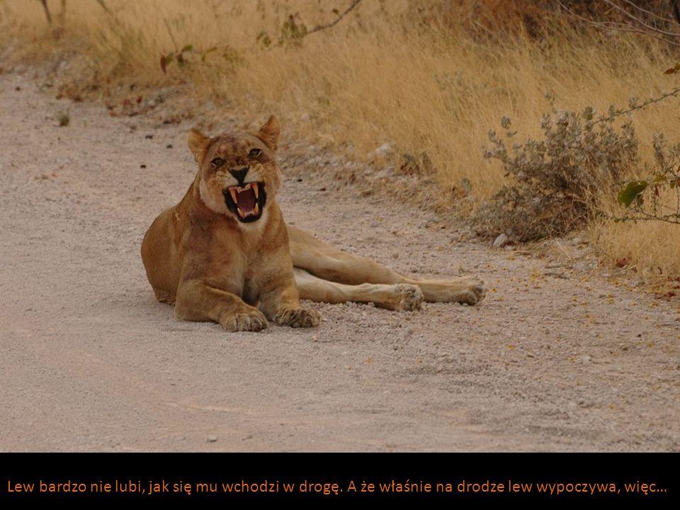 Lew bardzo nie lubi, jak się mu wchodzi w drogę