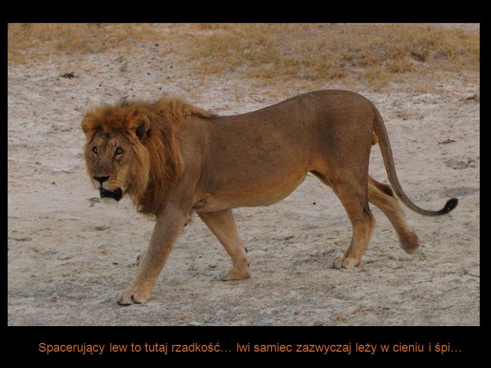 Spacerujący lew to tutaj rzadkość… lwi samiec zazwyczaj leży w cieniu i śpi…