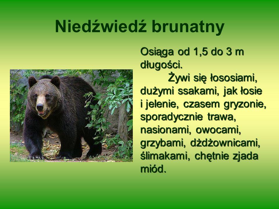 Niedźwiedź brunatny Osiąga od 1,5 do 3 m długości.