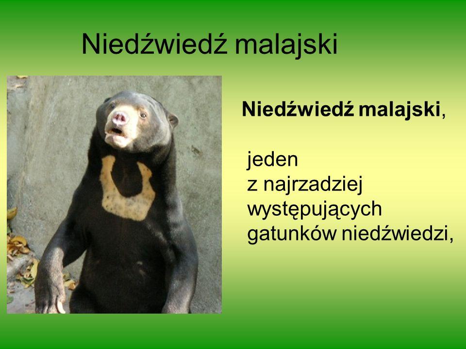 Niedźwiedź malajski Niedźwiedź malajski, jeden z najrzadziej
