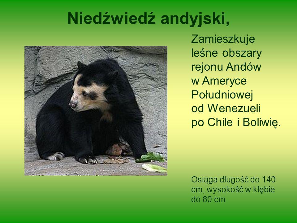 Niedźwiedź andyjski, Zamieszkuje leśne obszary rejonu Andów