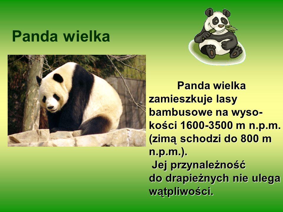 Panda wielka kości 1600-3500 m n.p.m. (zimą schodzi do 800 m n.p.m.).