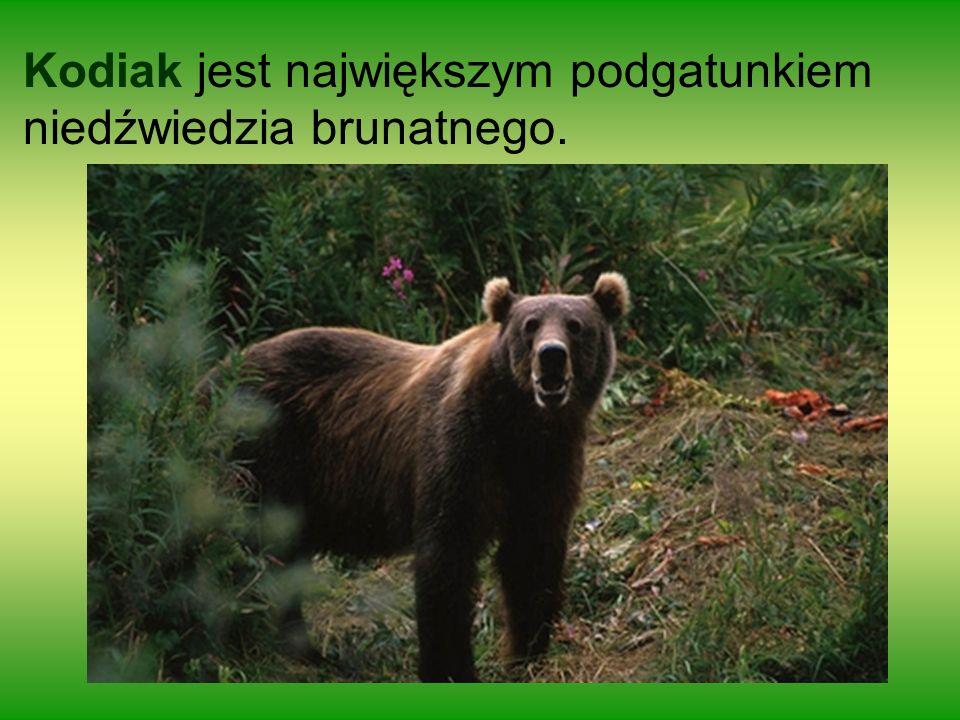 Kodiak jest największym podgatunkiem niedźwiedzia brunatnego.