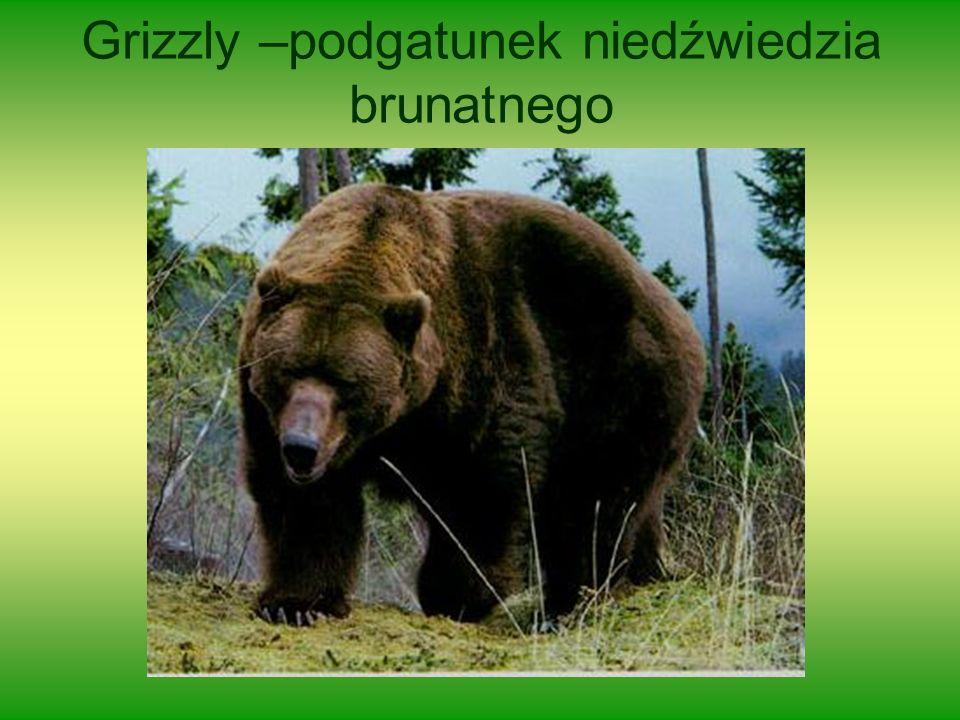 Grizzly –podgatunek niedźwiedzia brunatnego