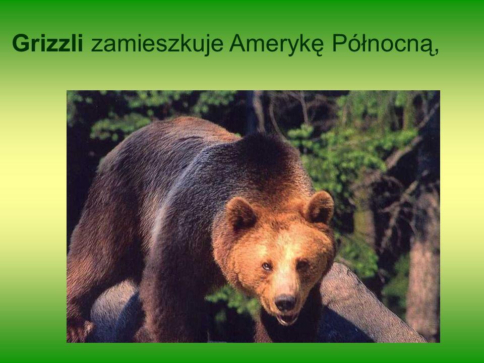 Grizzli zamieszkuje Amerykę Północną,