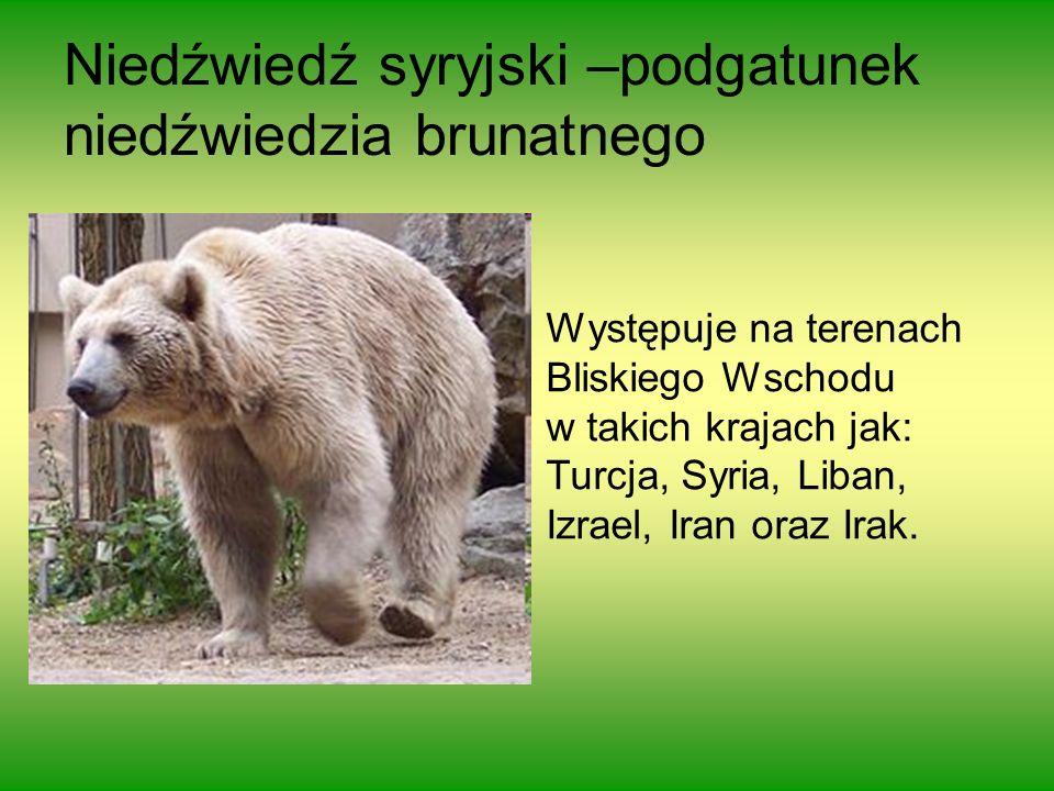Niedźwiedź syryjski –podgatunek niedźwiedzia brunatnego