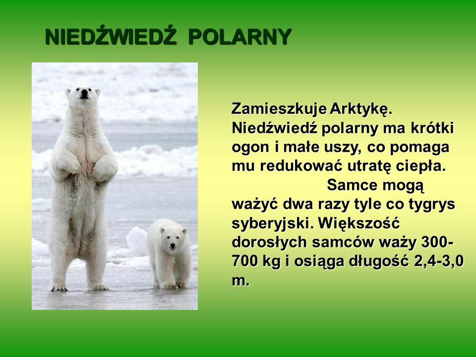 NIEDŹWIEDŹ POLARNY Zamieszkuje Arktykę. Niedźwiedź polarny ma krótki ogon i małe uszy, co pomaga mu redukować utratę ciepła.