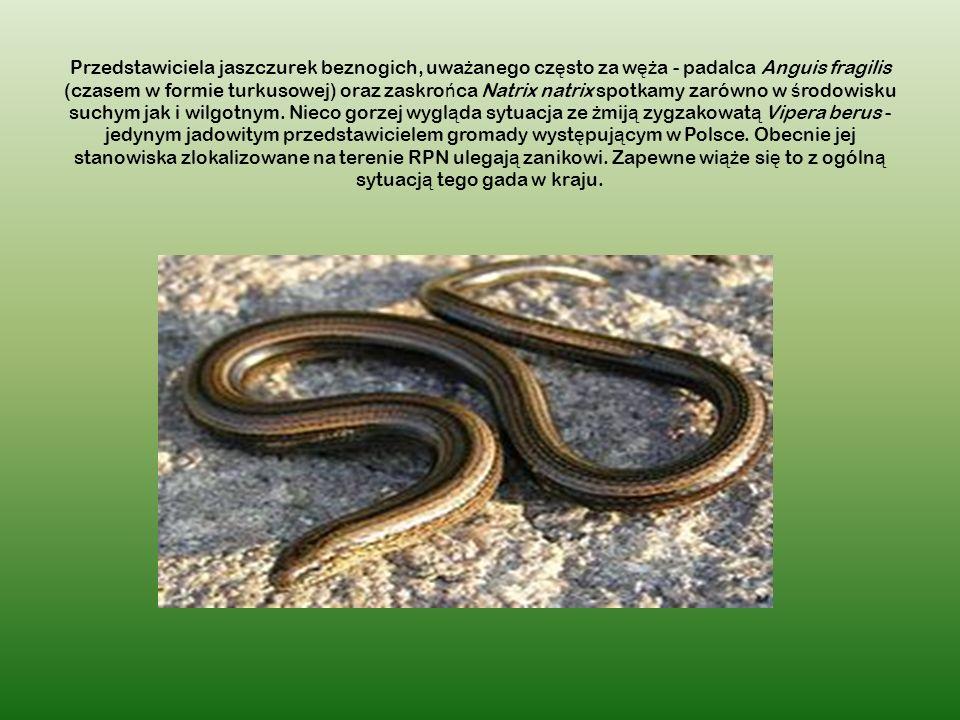 Przedstawiciela jaszczurek beznogich, uważanego często za węża - padalca Anguis fragilis (czasem w formie turkusowej) oraz zaskrońca Natrix natrix spotkamy zarówno w środowisku suchym jak i wilgotnym.