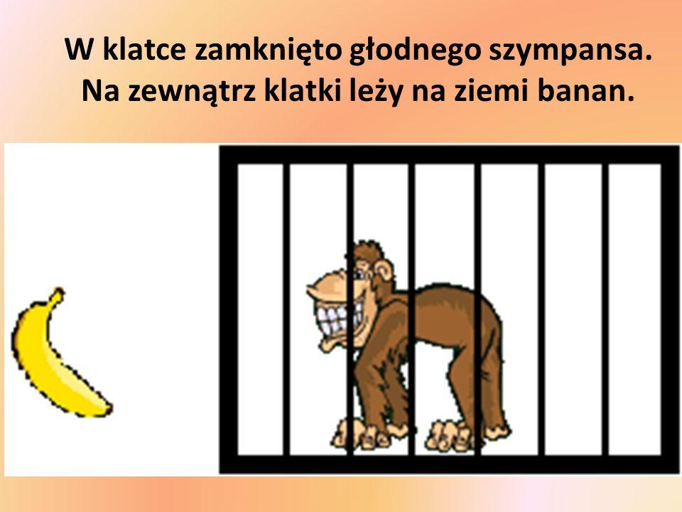 W klatce zamknięto głodnego szympansa