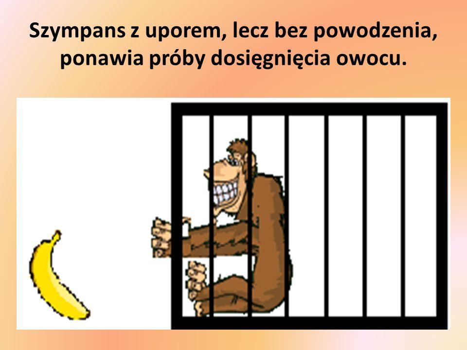 Szympans z uporem, lecz bez powodzenia, ponawia próby dosięgnięcia owocu.