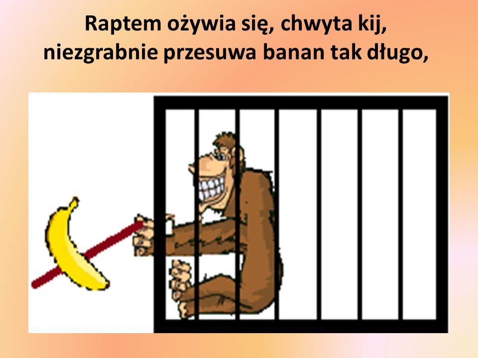 Raptem ożywia się, chwyta kij, niezgrabnie przesuwa banan tak długo,