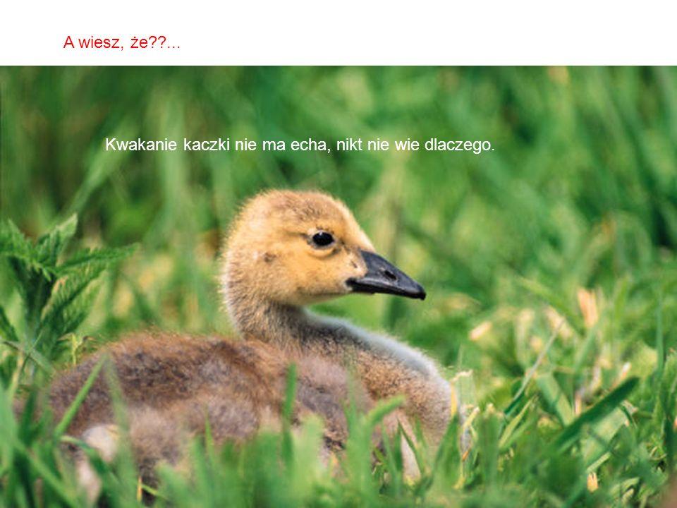 A wiesz, że ... Kwakanie kaczki nie ma echa, nikt nie wie dlaczego.