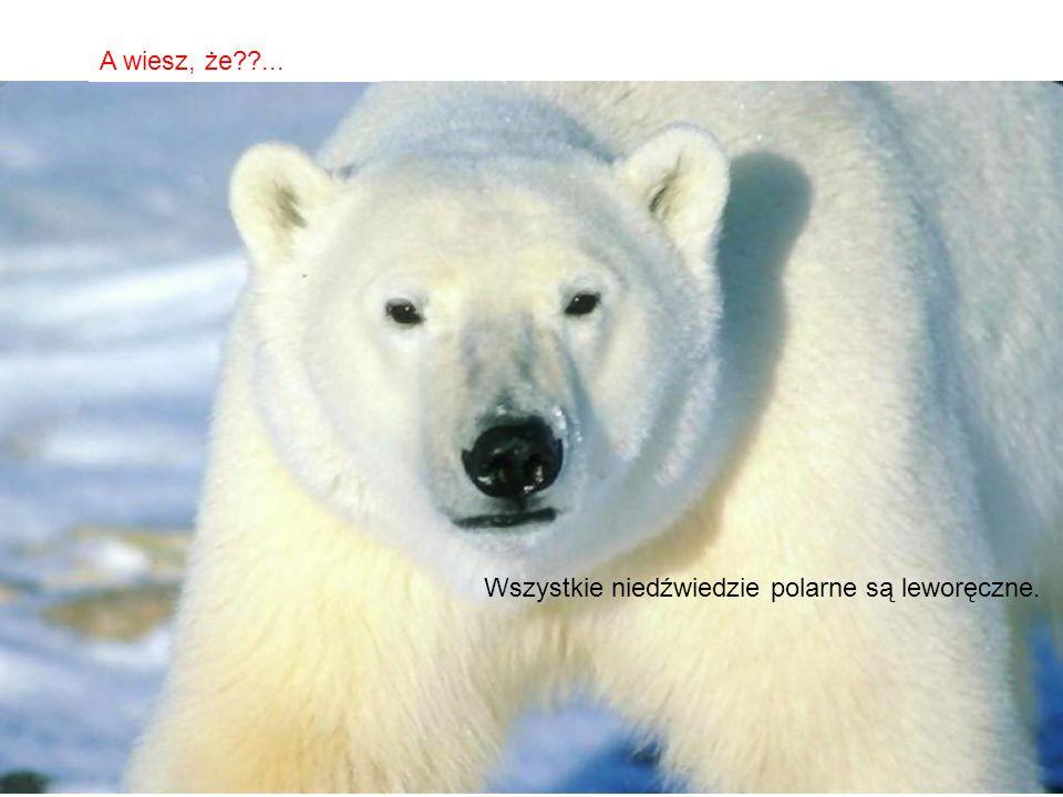 A wiesz, że ... Wszystkie niedźwiedzie polarne są leworęczne.