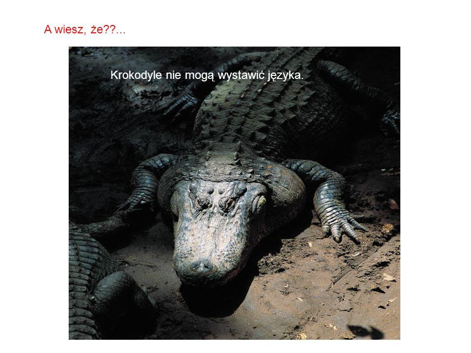 A wiesz, że ... Krokodyle nie mogą wystawić języka.