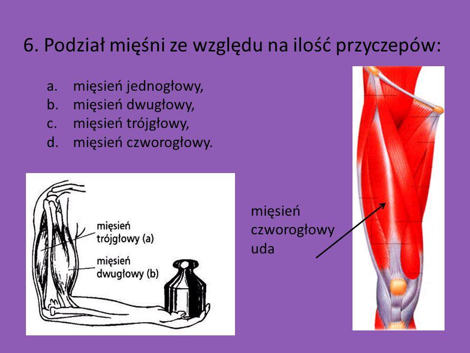 6. Podział mięśni ze względu na ilość przyczepów: