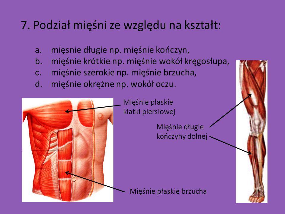 7. Podział mięśni ze względu na kształt: