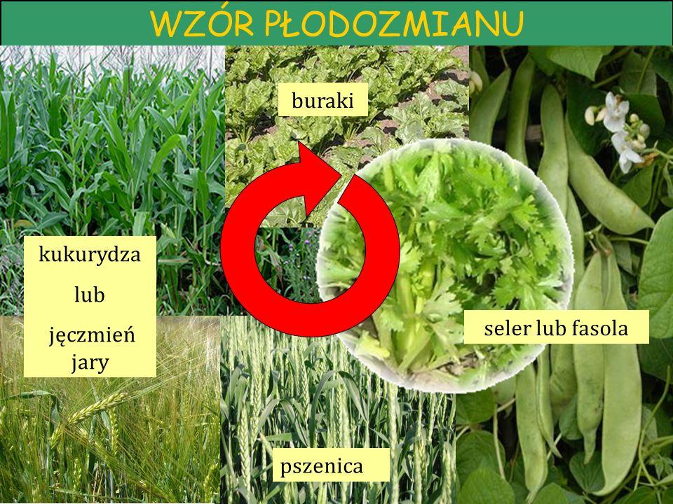 WZÓR PŁODOZMIANU buraki kukurydza lub jęczmień jary seler lub fasola