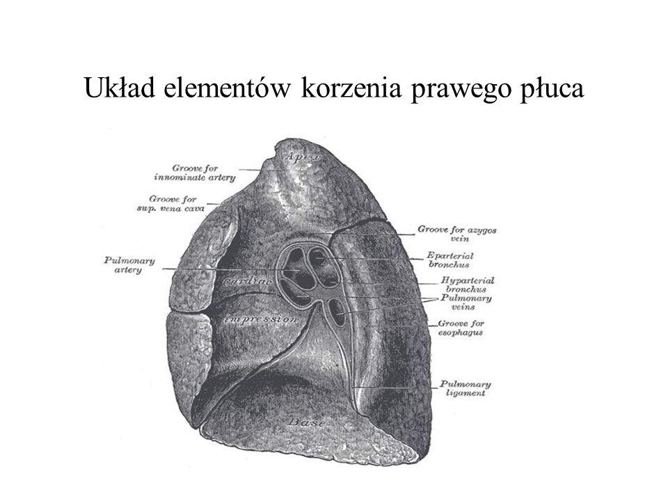 Układ elementów korzenia prawego płuca