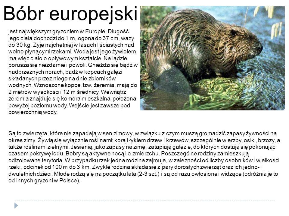 Bóbr europejski