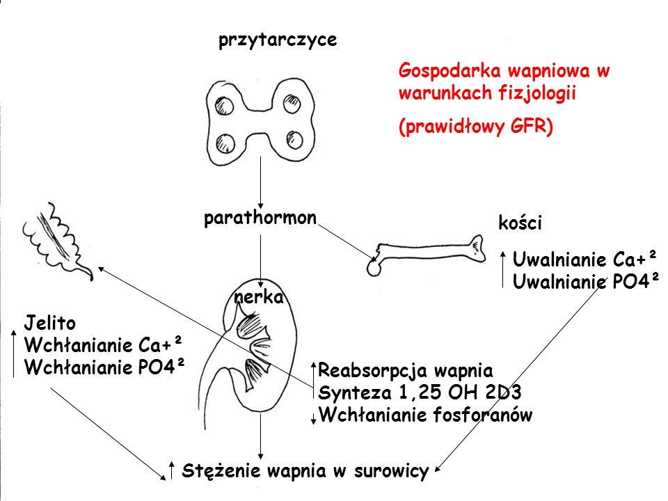przytarczyce Gospodarka wapniowa w warunkach fizjologii. (prawidłowy GFR) parathormon. kości. Uwalnianie Ca+².