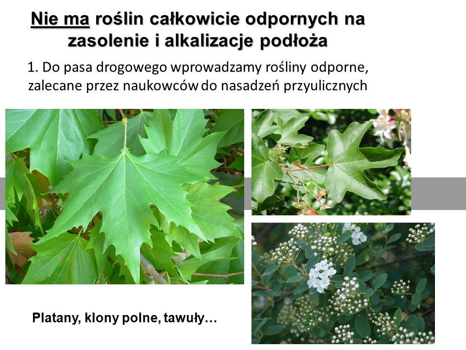 Nie ma roślin całkowicie odpornych na zasolenie i alkalizacje podłoża