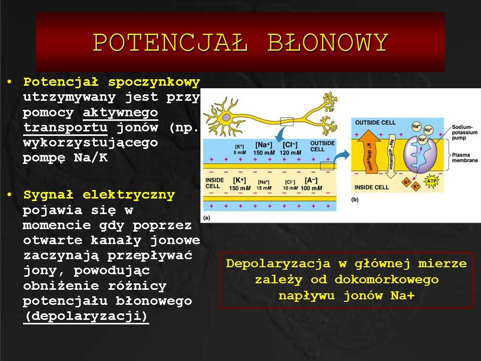 POTENCJAŁ BŁONOWY Potencjał spoczynkowy utrzymywany jest przy pomocy aktywnego transportu jonów (np. wykorzystującego pompę Na/K.
