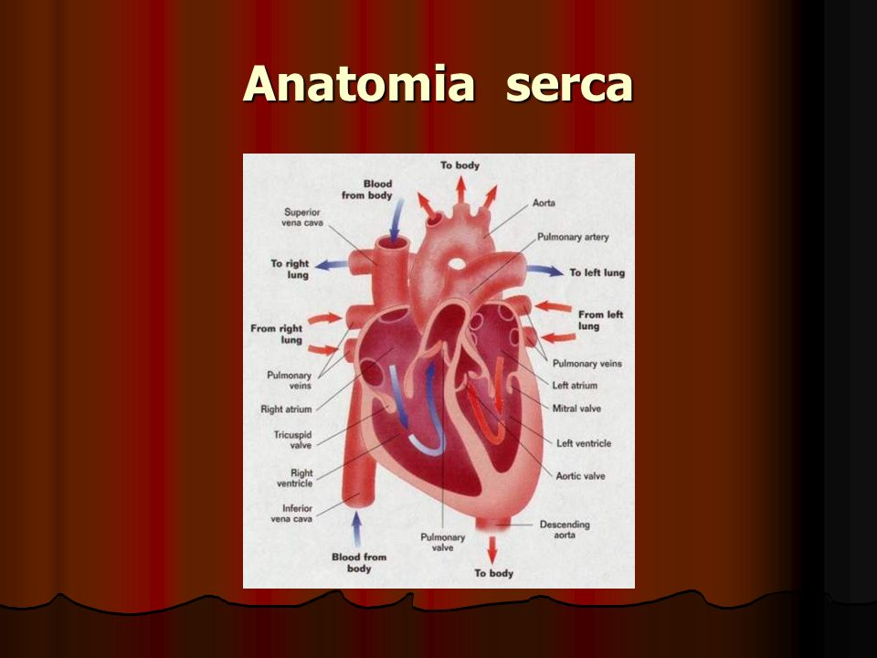 Anatomia serca