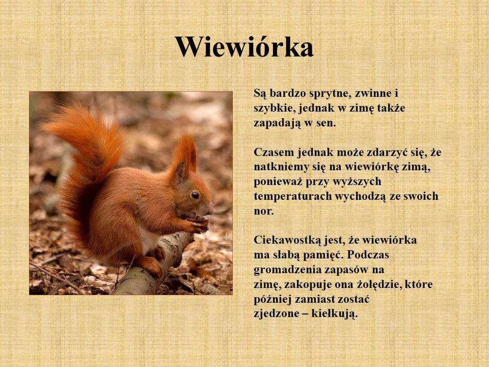 Wiewiórka Są bardzo sprytne, zwinne i szybkie, jednak w zimę także