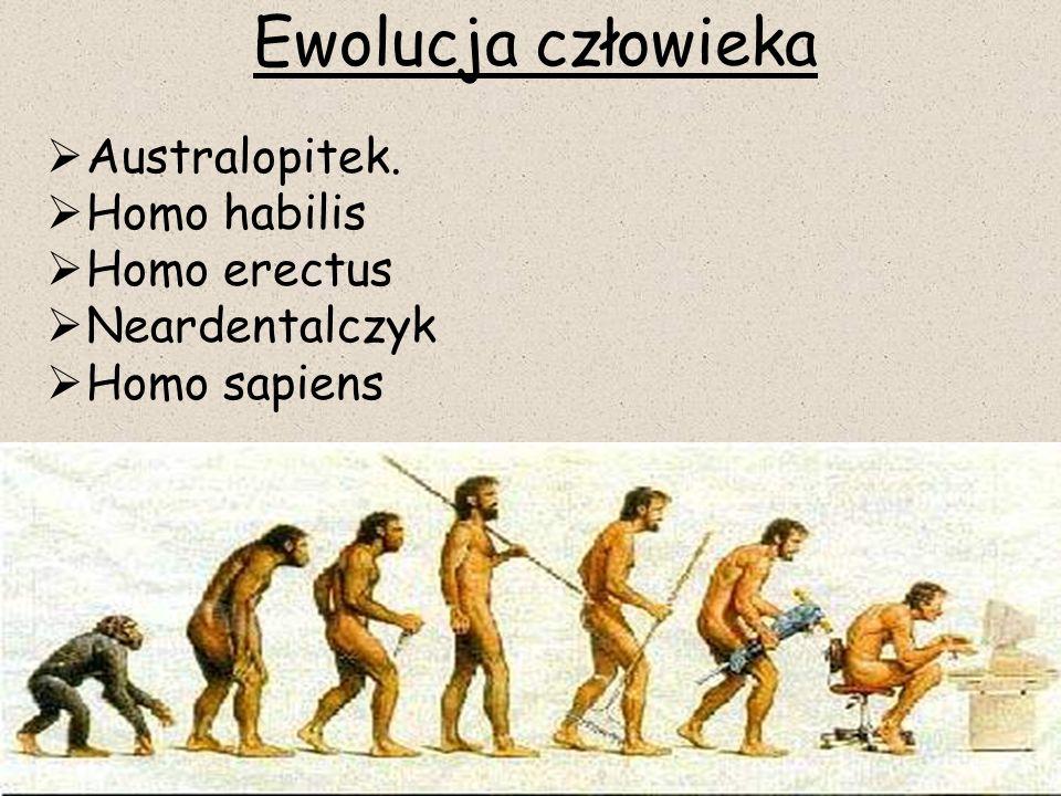 Ewolucja człowieka Australopitek. Homo habilis Homo erectus