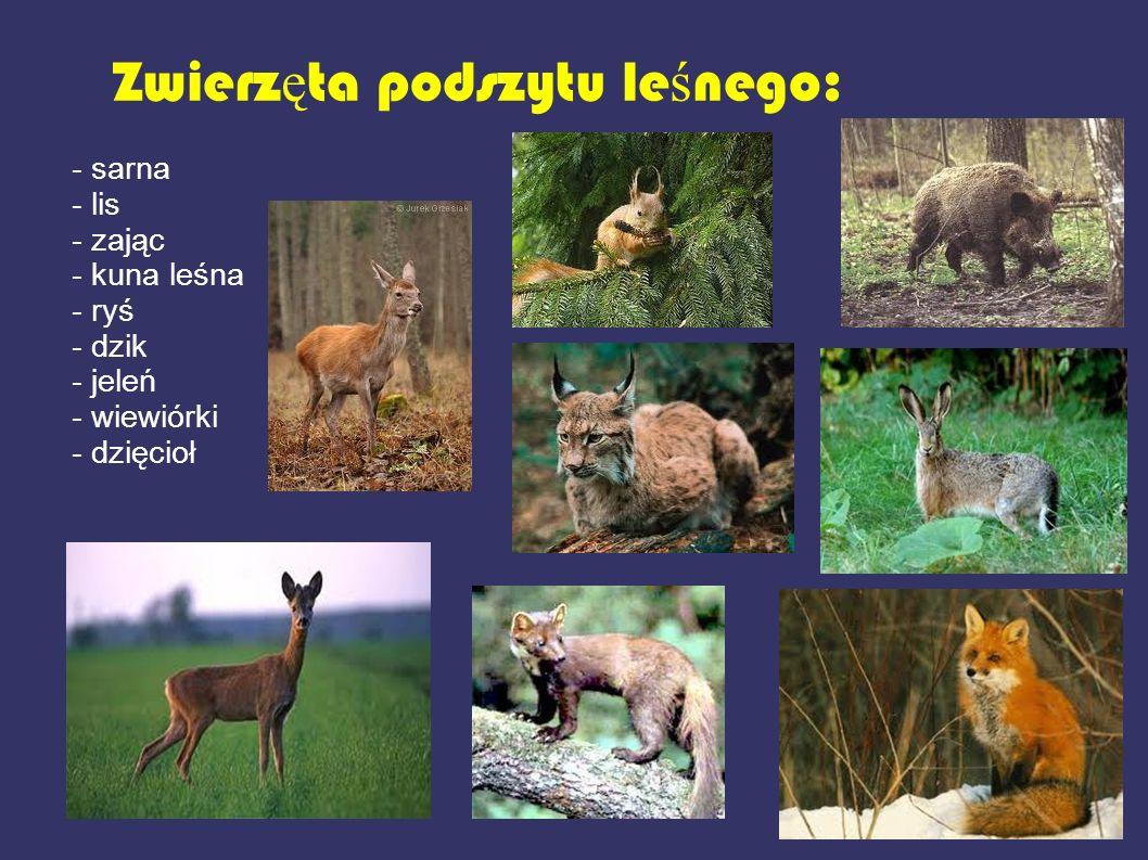 Zwierzęta podszytu leśnego: