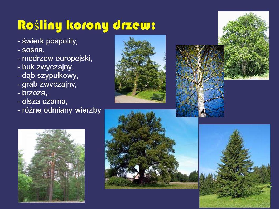 Rośliny korony drzew: - świerk pospolity, - sosna,