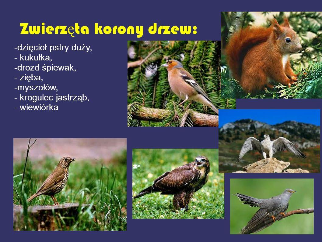 Zwierzęta korony drzew: