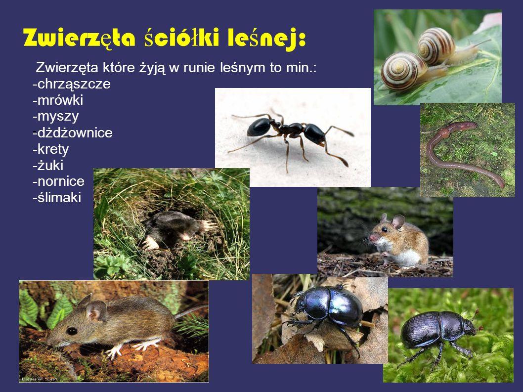 Zwierzęta ściółki leśnej: