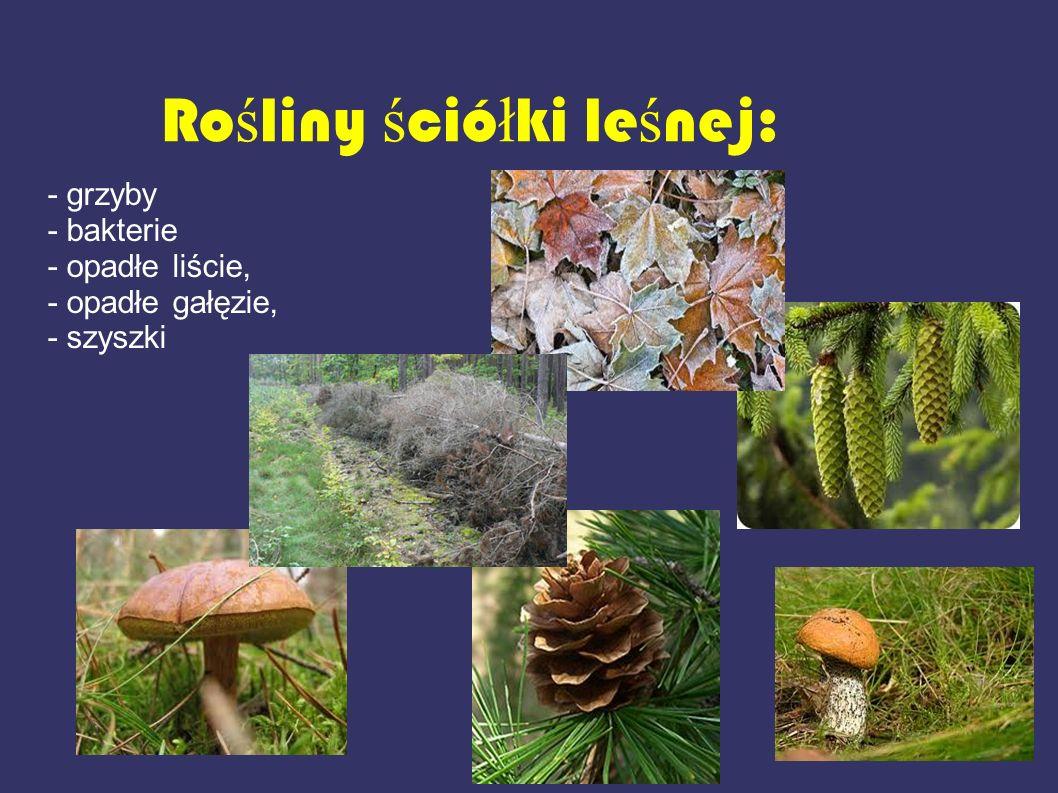 Rośliny ściółki leśnej:
