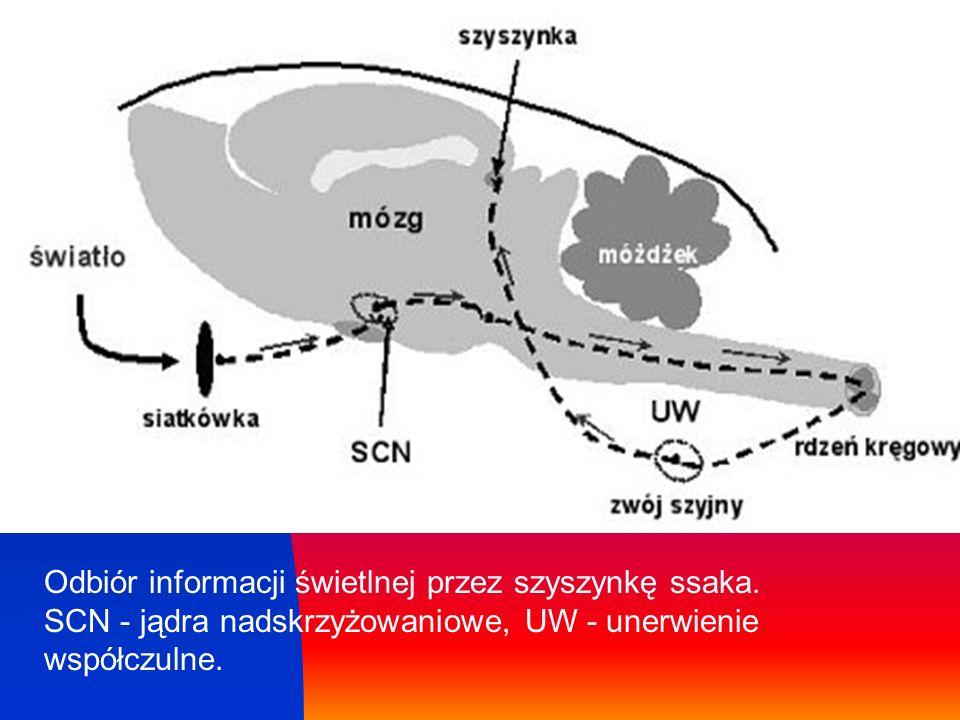 Odbiór informacji świetlnej przez szyszynkę ssaka