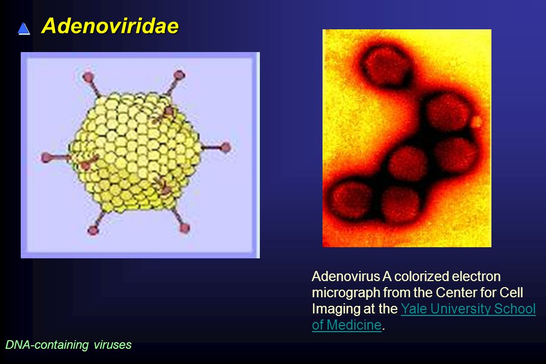 Adenoviridae Adenovirus A colorized electron micrograph from the Center for Cell Imaging at the Yale University School of Medicine.