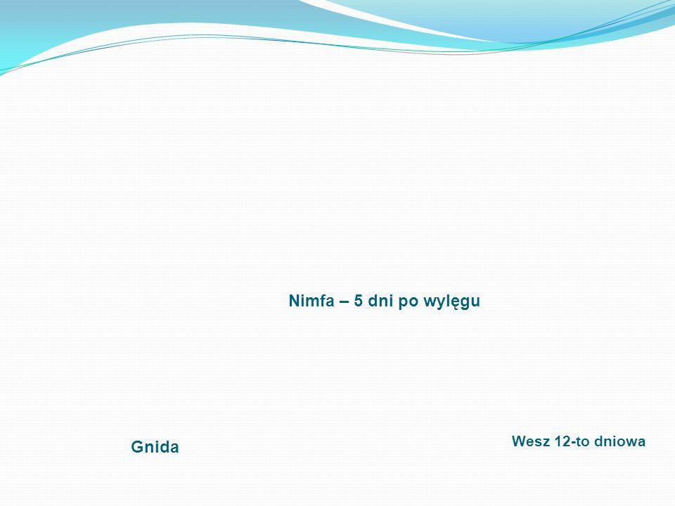 Nimfa – 5 dni po wylęgu Wesz 12-to dniowa Gnida