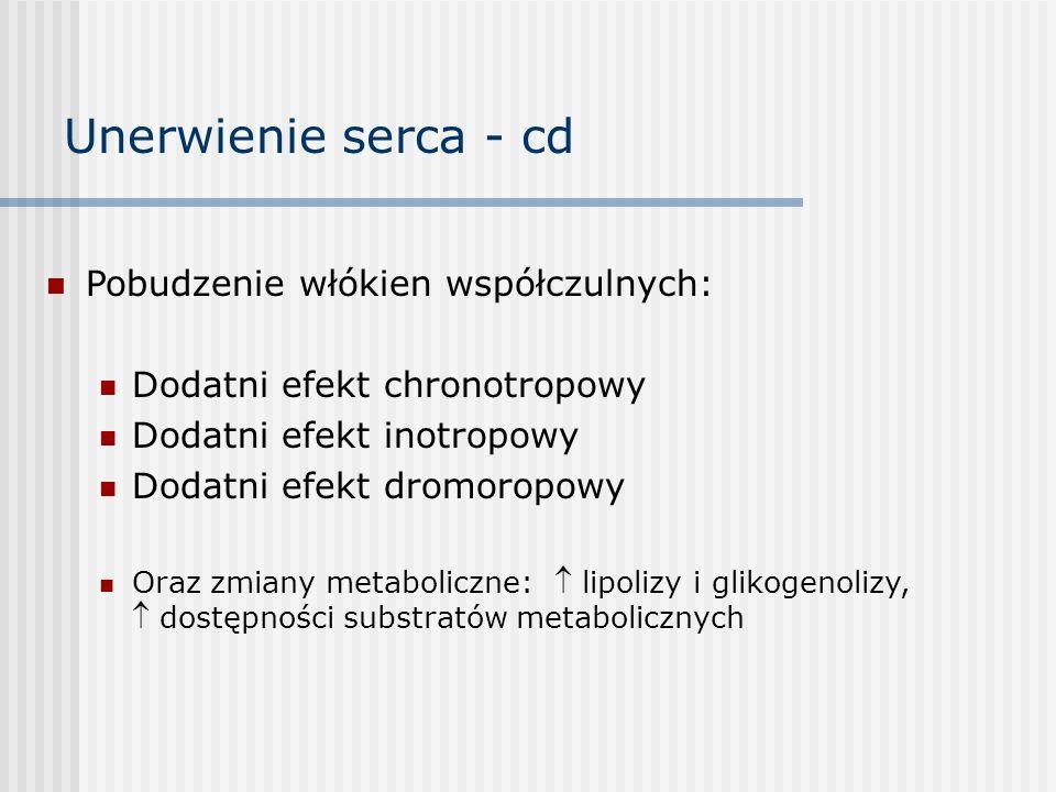 Unerwienie serca - cd Pobudzenie włókien współczulnych: