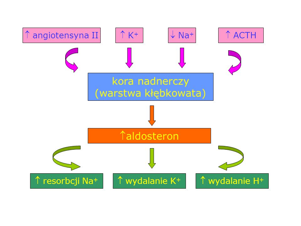 kora nadnerczy (warstwa kłębkowata) aldosteron  K+  angiotensyna II