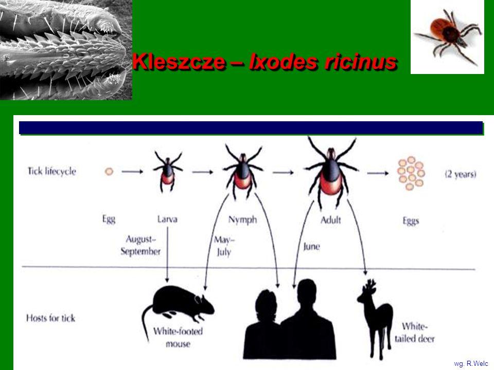 Kleszcze – Ixodes ricinus